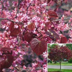 Floweringornamental trees louisiana nursery lovely rosy pink blooms in spring with redpurple new leaves changing to dark green grows to 25 ft forming a spreading graceful crown mightylinksfo