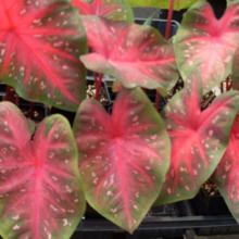 caladiums, plants, bulbs, rhizomes, louisiana, nursery