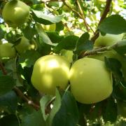 A Large Le With Fine Sweet Flavor For Fresh Eating Pies And Preserves Ripens Late October