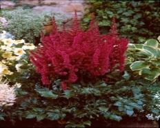Astilbe 'visions in red'