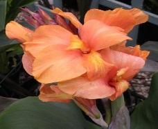 canna 'tropical sunrise'
