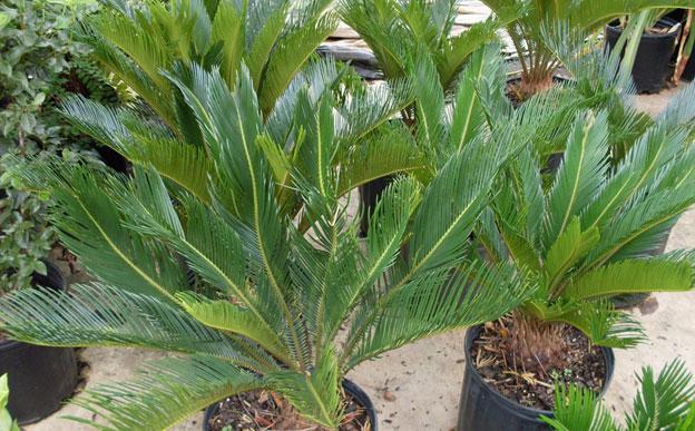 sago palm, plants, louisiana, nursery