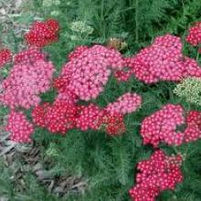 achillea-yarrow colorado