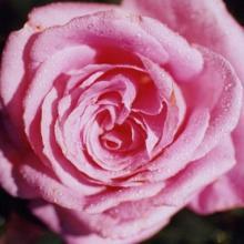 Rose-Belinda's Dream