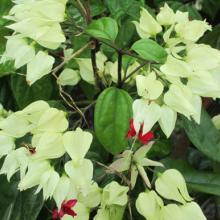 bleeding heart, plant, vines, louisiana, nursery