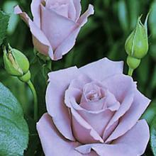Rose-Blue Moon