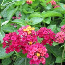 carlos, lantana, plant, louisiana, perennials, nursry