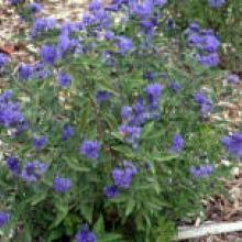 caryopteris 'first choice'