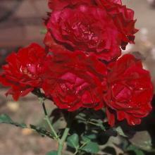 Rose-Climbing Don Juan