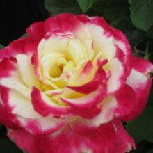 double delight rose, louisiana, plant, rose, roses, nursery