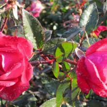 double red knock out rose, rose, roses, plant, louisiana, nursery