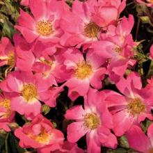 Roses-Drift Pink