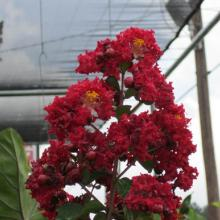 Dynamite Crape Myrtle, plant, trees, tree, ornamental, flowering, louisiana, nur