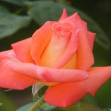 Rose-Folklore