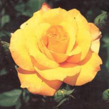 Rose- Gold Glow