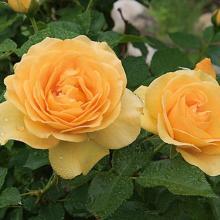 Rose-Julia Child