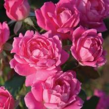 Roses-Knockout Double Pink
