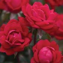 Rose- Double Red Knockout