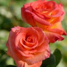 Rose-Mardi Gras