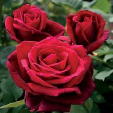 Roses-Mr. Lincoln
