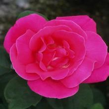 Rose-Perfume Delight