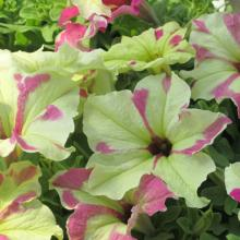petunias, annuals, louisiana, nursery, plants