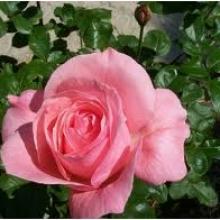 Rose-Queen Elizabeth
