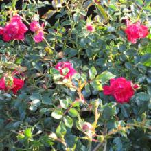 Red Drift Rose, plant, rose, roses, louisiana, nursery
