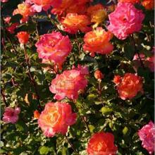 Rose-Rio Samba