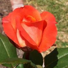 Rose-Shreveport