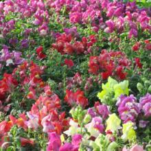 snapdragons, snap dragons, annuals, louisiana, nursery, plants