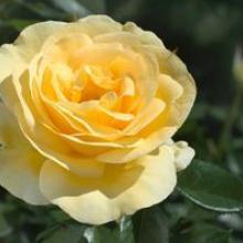 Rose-Sunshine Daydream
