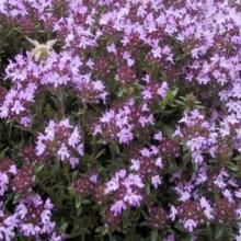 Herb-Wild Thyme